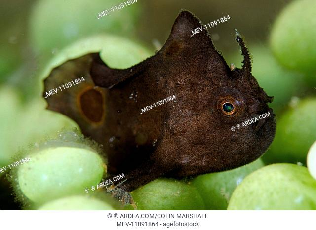 Spotfin Frogfish in coral