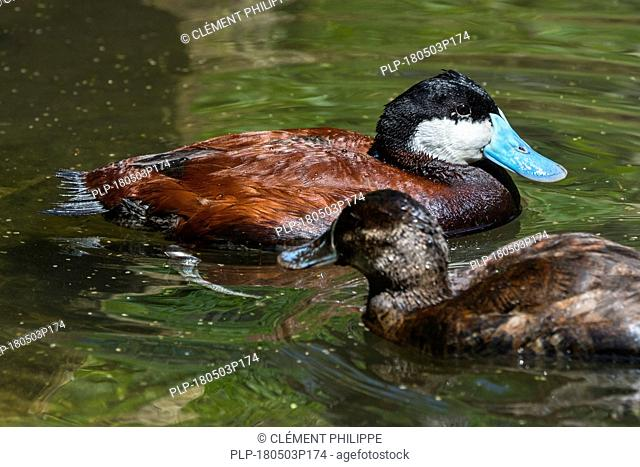 Ruddy duck (Oxyura jamaicensis) male and female swimming in pond, stiff-tailed duck native to North America