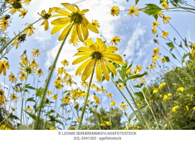 Rudbeckia flowers. Scientific name: Rudbeckia hirta
