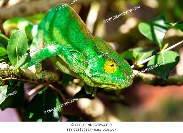 Yellow eye chameleon