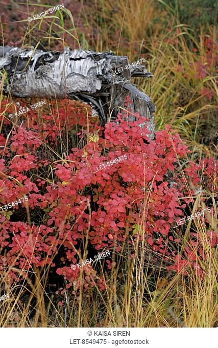 Autumn colors from Inari, Finnish Lapland