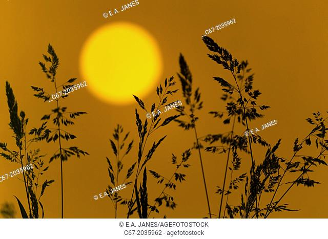 Meadow Grasses at sunset