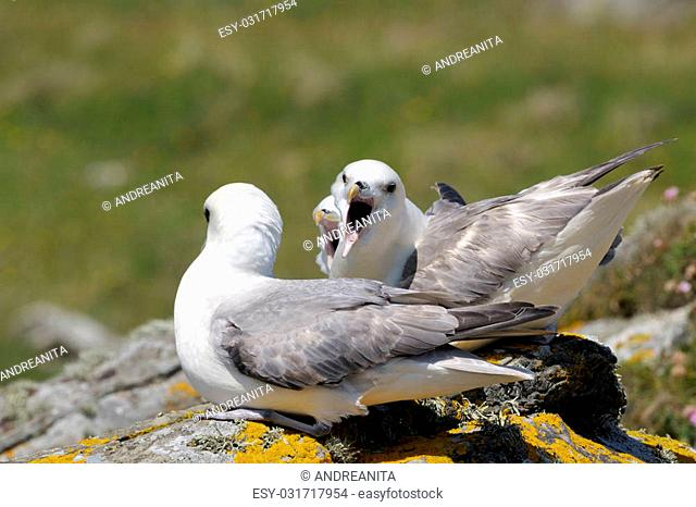 Northern Fulmar couple communicating