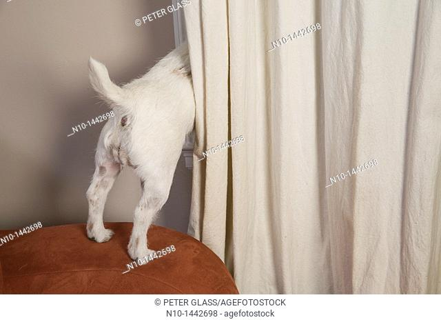 Dog looking behind a curtain, through a window