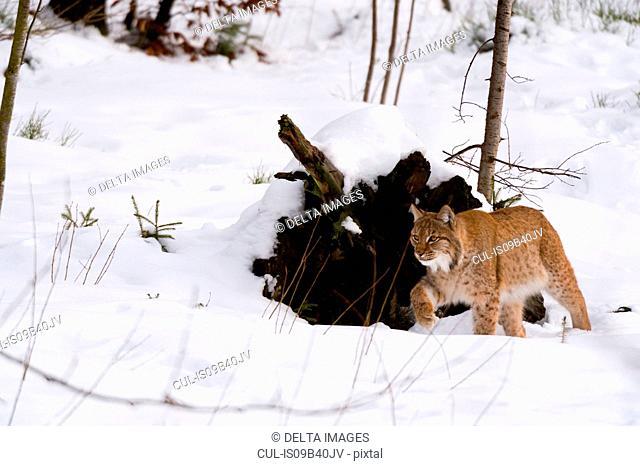 European lynx (Lynx linx), Bavarian Forest National Park, Bavaria, Germany
