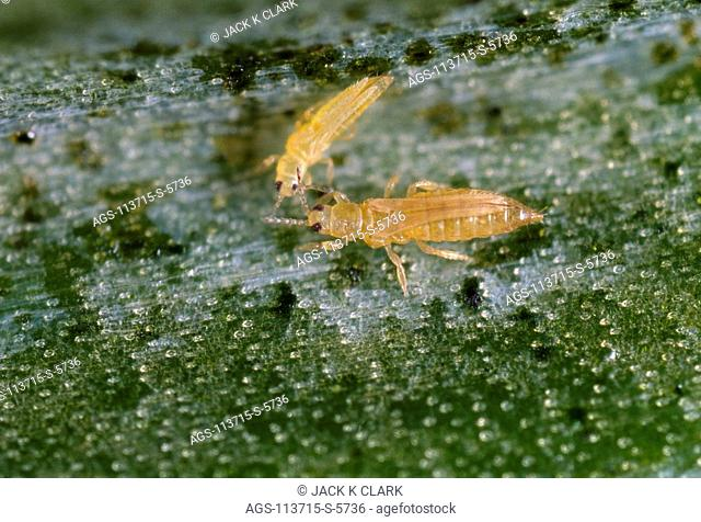 THRIPS DAMAGE TO ROSES, Stock Photo, Picture And Rights