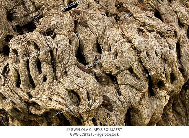 ANCIENT OLIVE TREE TRUNK LEBANON