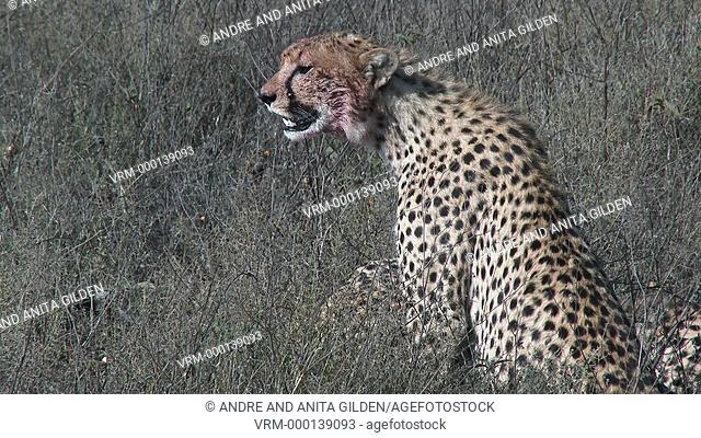 Cheetah (Acinonyx jubatus)breathing heavily after eating on prey
