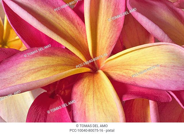 Closeup abstract view of pink and yellow plumeria blossoms