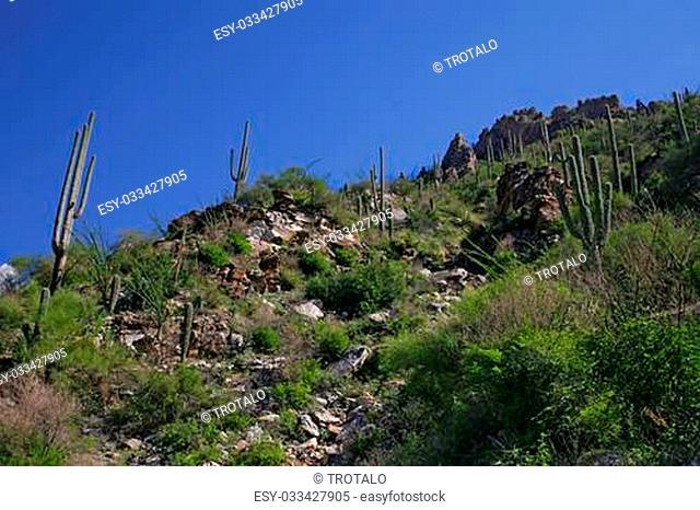 Giant Saguaro Cactus, Saguaro National Park, Sonoran Desert, Tucson, Arizona 2