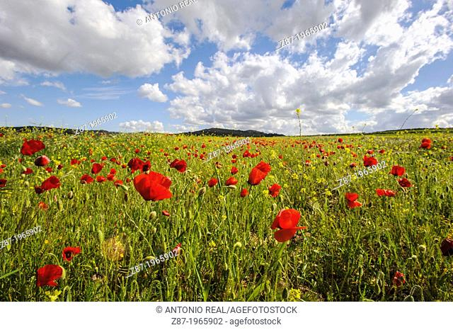 Poppies (Papaver rhoeas) and clouds. Almansa. Province of Albacete. Spain