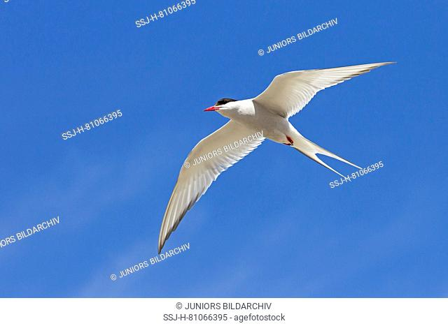 Arctic Tern (Sterna paradisaea), adult in flight. Germany