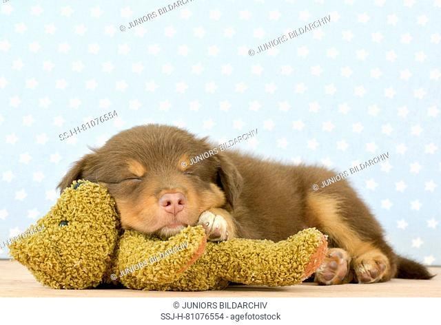 Australian Shepherd (8 weeks old). Puppy sleeping on Teddy bear. Studio picture. Germany