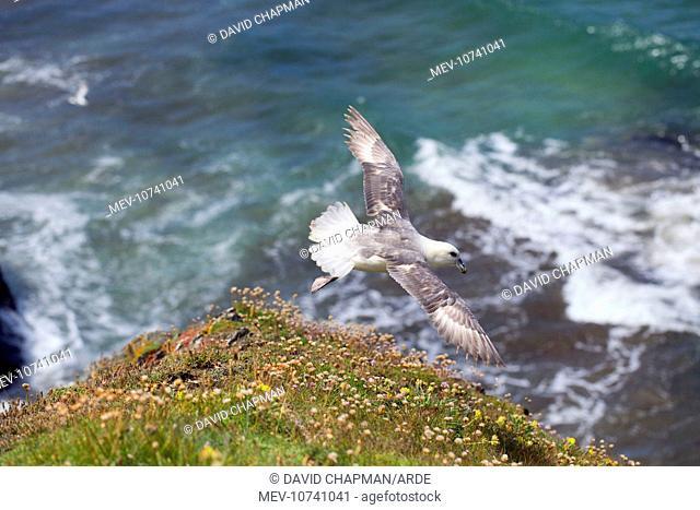 Fulmar - Flight (Fulmarus glacialis)