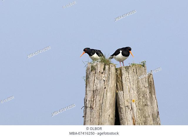 Oystercatcher, Haematopus ostralegus, couple on pole