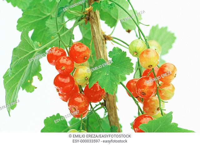 Redcurrants (Ribes rubrum)