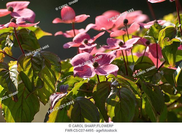 Cornus Kousa 'Satomi', Dogwood, Flowering