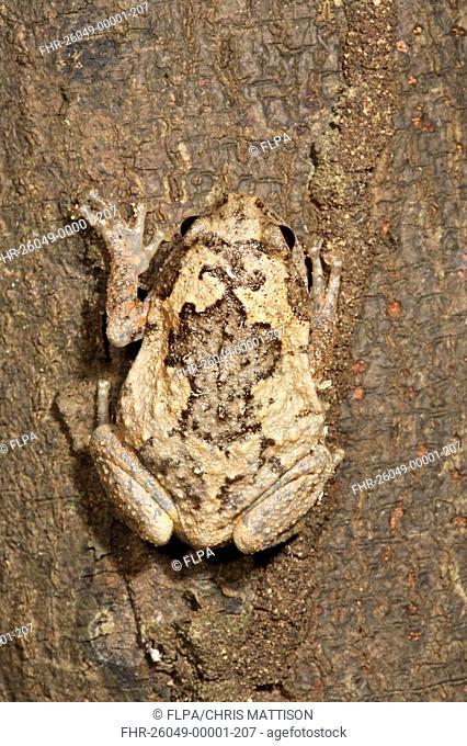 Borneo Tree-hole Frog Metaphrynella sundana adult, camouflaged on bark, Sukau River, Sabah, Borneo, Malaysia
