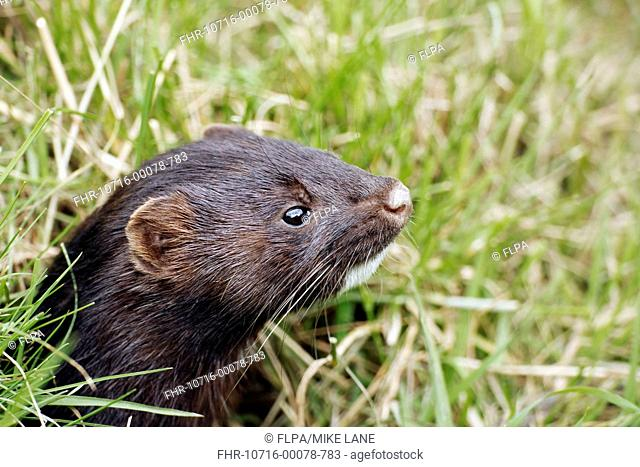 American Mink Mustela vison introduced species, adult, close-up of head, England, July captive