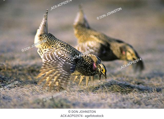 Sharp tailed grouse males pedioecetes phasianellus displaying on manitoulin island ontario, canada