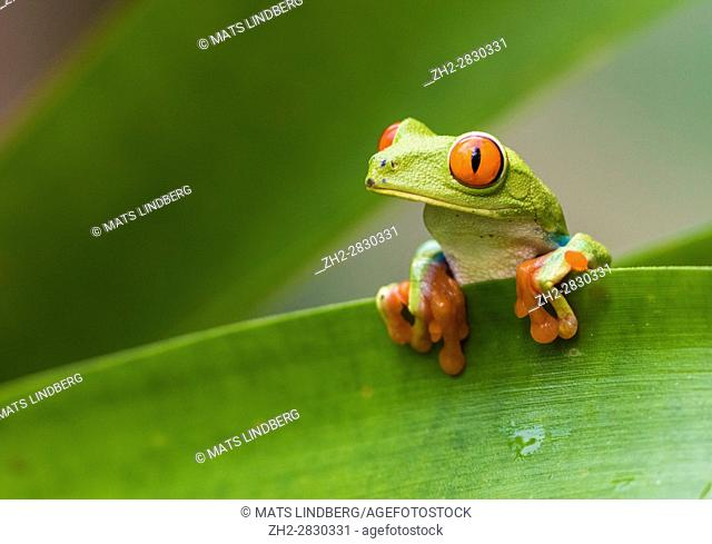 Red-eyed tree frog, Agalychnis callidryas, climbing on a leaf, looking to the side, Laguna del Lagarto, Boca Tapada, San Carlos, Costa Rica