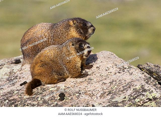 Yellow-bellied Marmot (Marmota flaviventris) adult and young on rock boulder, Rocky Mountain National Park, Colorado, USA, June 2007