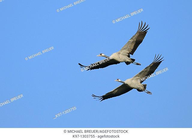 Common cranes, Grus grus, Mecklenburg-Western Pomerania, Germany, Europe