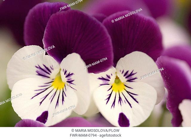 Viola x wittrockiana cultivar, Pansy, White subject