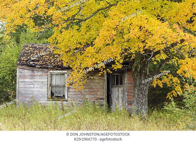Autumn maple and dilapidated cabin, near Seney, Michigan, USA