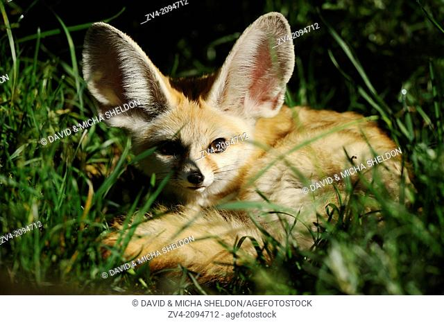 Close-up of a fennec fox or fennec (Vulpes zerda) lying in a meadow
