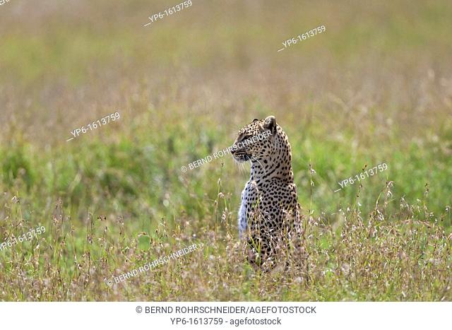 Leopard Panthera pardus looking out for prey, Serengeti National Park, Tanzania