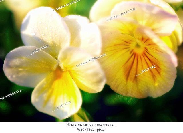 Two Yelow Pansy Flowers. Viola x wittrockiana. June 2006, Maryland, USA