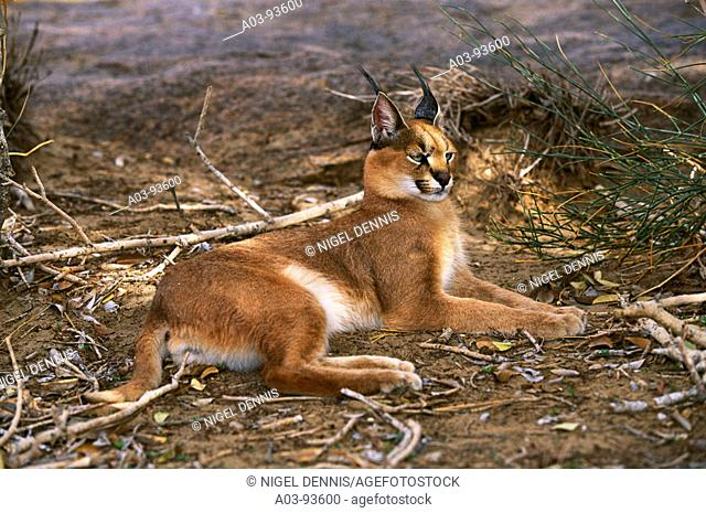Caracal (Felis caracal). Augrabies Falls National Park, South Africa
