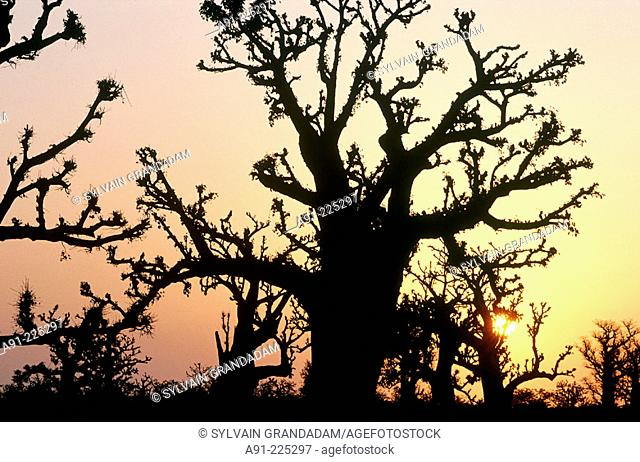 Baobabs trees in Bandia Forest at sunrise. Cap Vert province. Senegal