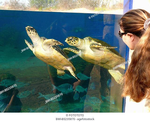loggerhead sea turtle, loggerhead Caretta caretta, woman looking at two animals swimming by at the pane of an outdoor aquarium, Spain