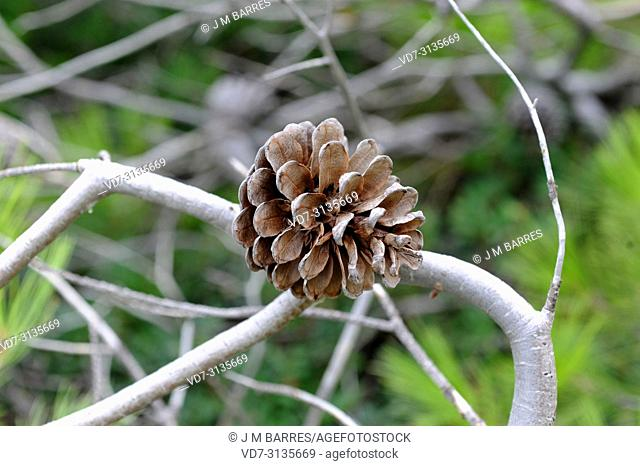 Aleppo pine (Pinus halepensis) is a coniferous tree native to Mediterranean Basin. It is specially abundant in eastern Spain. Cone detail