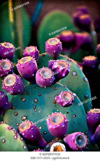 USA, Northern New Mexico, close up of Prickly Pear Cactus, Prickly Pear Cactus is usually found in states like Arizona and California