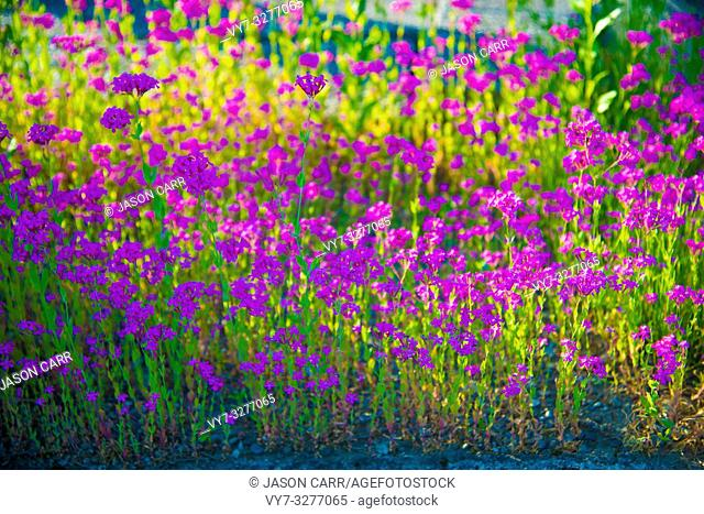 Purple flowers in Toyama, Japan. Toyama is one of the important cities in Japan for cultures and business markets
