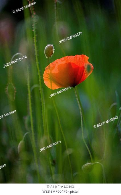 Germany, Baden W¸rttemberg, Poppy Papaver, close-up