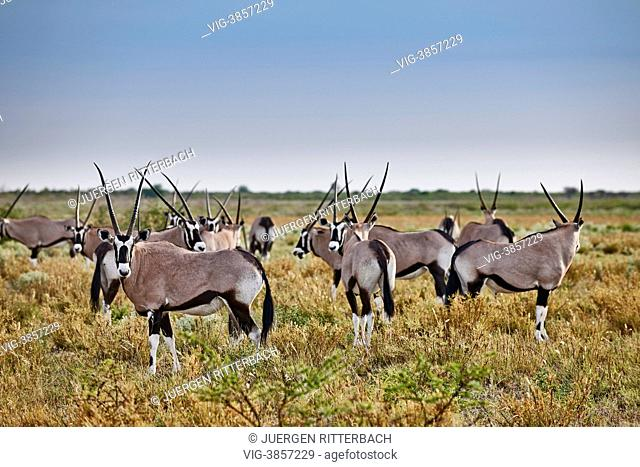 herd of Gemsbok (Oryx gazella), Central Kalahari Game Reserve, Botswana, Africa - Central Kalahari Game ReserveBotswana, 16/02/2013