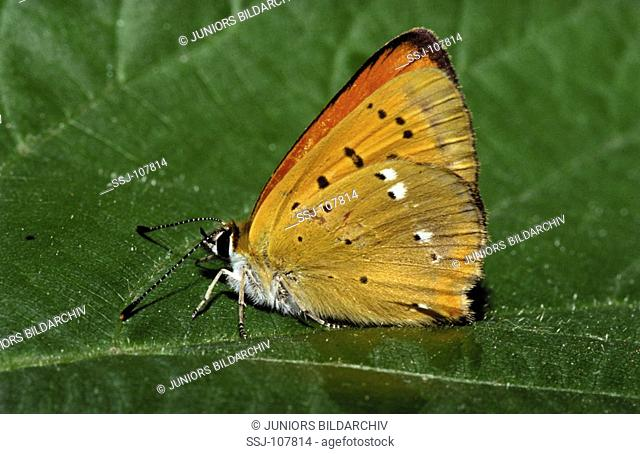 animal,insect,butterfly,small-copper-butterfly