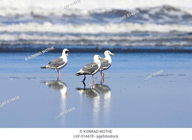 Western Gulls, Larus occidentalis, West Coast, Pacific, Olympic Peninsula, Washington, USA