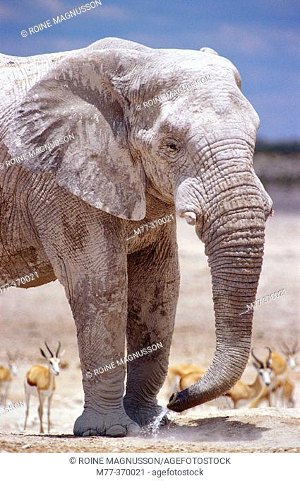 African elephant (Loxodonta africana) and springbok (Antidorcas marsupialis). Etosha National Park. Namibia