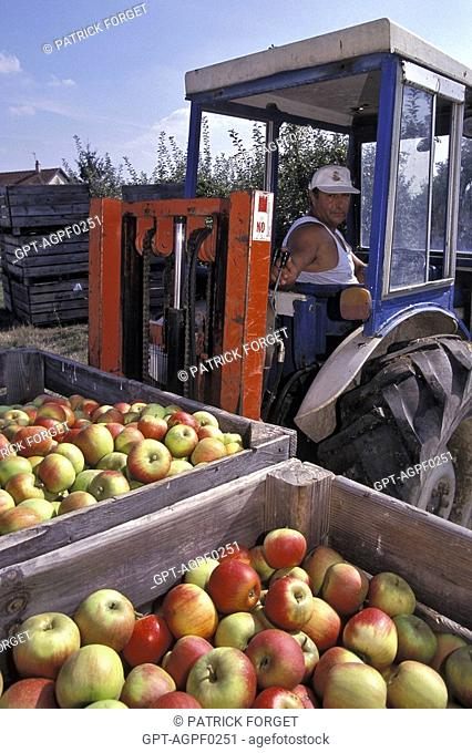 TRANSPORTING APPLES IN WOODEN CRATES, LOIRET, FRANCE