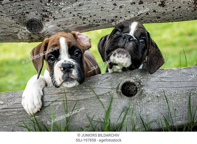 Boxer. Two puppies looking through a wooden fence. Germany