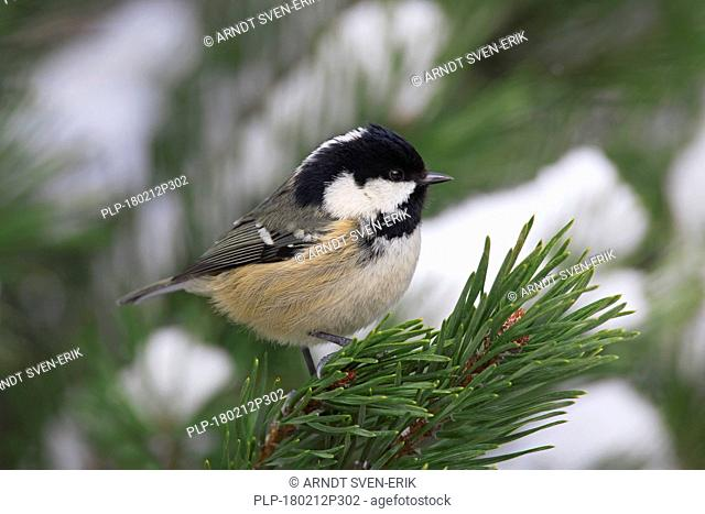 Coal tit (Periparus ater / Parus ater) perched in spruce tree in the snow in winter