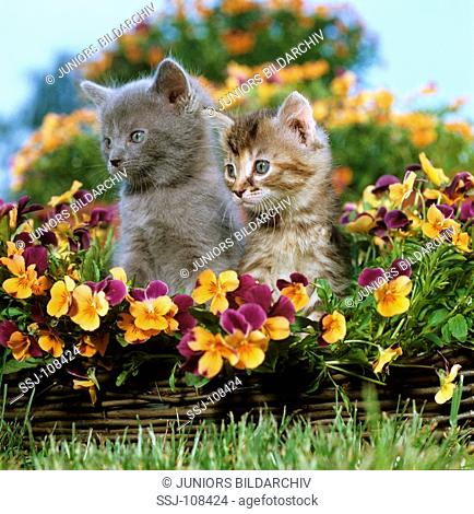 two young Maine Coons - sitting between daffodils