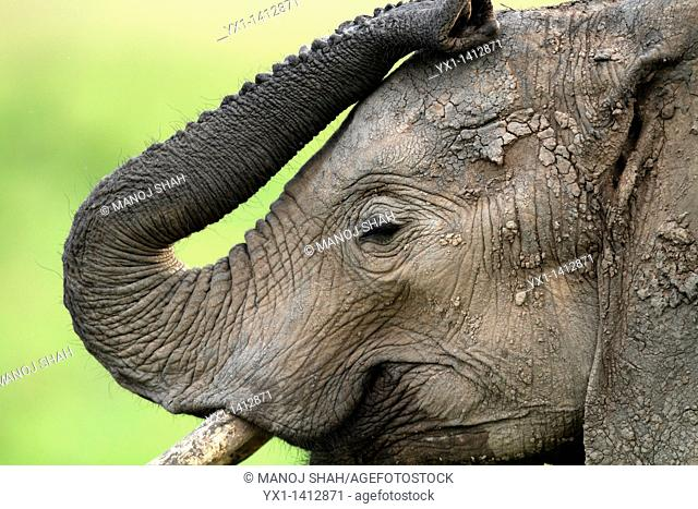 Thy trunk of the elephant is a very flexible elongated nose adapted to be used as a 'hand', with an excellent sense of smell  Here it is seen how flexible it...
