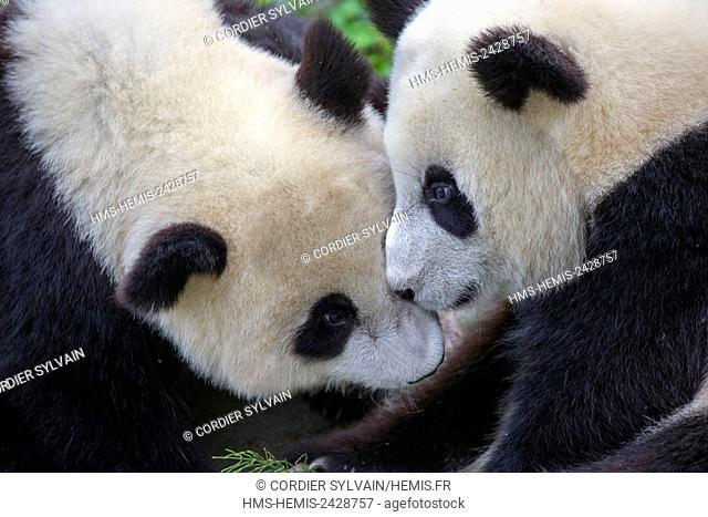 China, Sichuan province, Chengdu, Research Base of Giant Panda Breeding or Chengdu Panda Base, Giant Panda (Ailuropoda melanoleuca), captive