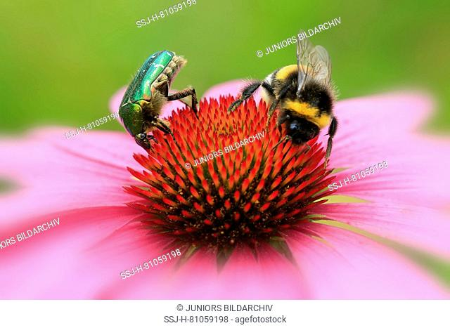 Rose Chafer (Cetonia aurata) and Buff-tailed Bumble Bee ( Bombus terrestris) drinking nectar from a coneflower
